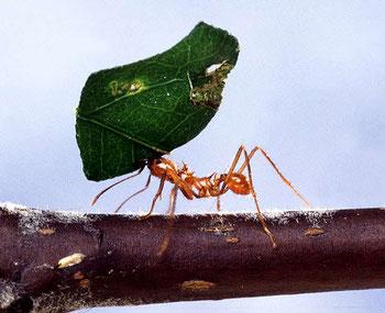 La Bible conseille aux paresseux d'observer le comportement de la fourmi afin de devenir sages. Proverbes 13 :4 : « Le paresseux a des désirs qu'il ne peut satisfaire, tandis que les personnes actives sont comblées. »