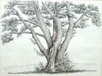 Tuschezeichnung   - Baum bei Mackenzell -  Tuschezeichnung  30 x 40