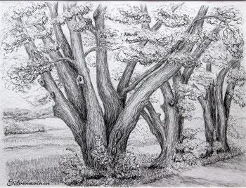 Baumgruppe - bei Mackenzell             - Bleistiftzeichnung   30 x 40