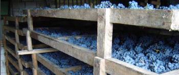 Drogen van de Sagrantino druiven voor de 'Passito'