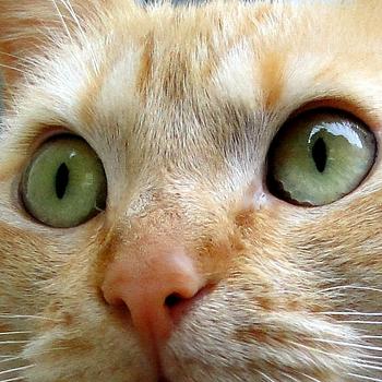 Katze, red - on agouti - laut Gentest