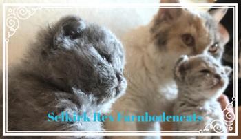 Selkirk Rex Farnbodencats