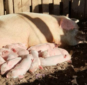 Nachwuchs auf der Finca: 13 kleine Schweine