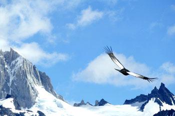 Der Condor: kein seltener Gast in Argentinien