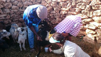 Ordina cabra': milking goats to get fresh goat milk for the cheese