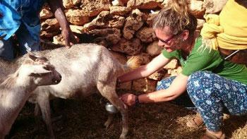 Milking goats in Barreios, Maio