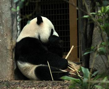 panda géant (mark yang)