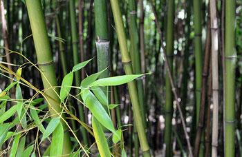 «Phyllostachys viridiglaucescens» par © Citron /. Sous licence CC BY-SA 3.0 via Wikimedia Commons - https://commons.wikimedia.org/wiki/File:Phyllostachys_viridiglaucescens.jpg#/media/File:Phyllostachys_viridiglaucescens.jpg