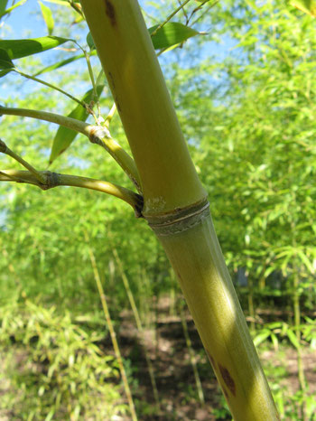"""Phyllostachys aurea2"" by I, KENPEI. Licensed under CC BY-SA 3.0 via Wikimedia Commons - https://commons.wikimedia.org/wiki/File:Phyllostachys_aurea2.jpg#/media/File:Phyllostachys_aurea2.jpg"