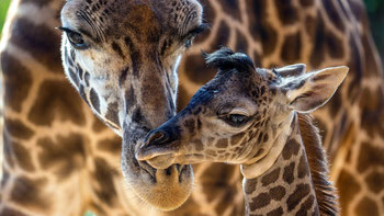 Giraffe masai - Kenya Vacanze