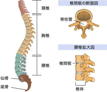 背骨は通常、生理的湾曲(S字状)になっています。