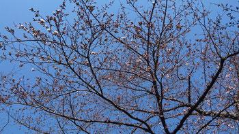 さくら 桜 ほうとう寿屋