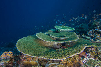 Tables de corail, Raja Ampat, Indonesie