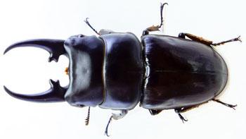 Dorcus hyperion 66㎜