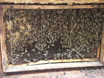 EinBlick in ein Bienenvolk im Hinterbehandlungskasten