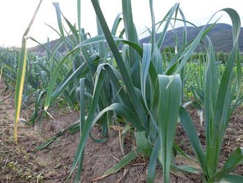 ミモレ農園 農薬不使用 リーキ