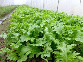 ミモレ農園 農薬不使用 わさび菜