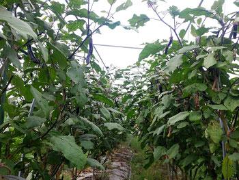 ミモレ農園 なすび