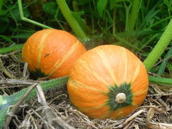 ミモレ農園 農薬不使用 坊ちゃんかぼちゃ