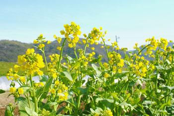 ミモレ農園 農薬不使用 菜の花