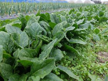 ミモレ農園 農薬不使用 ほうれん草
