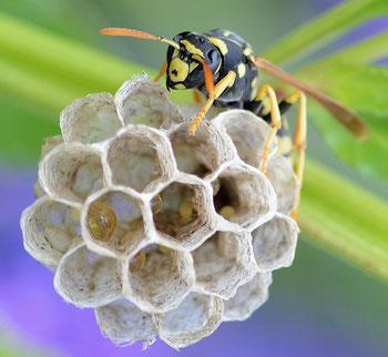 Arbeiterin auf neuem Nest; Alvesgaspar; wikipedia.org