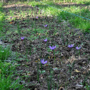 fleurs safran-saint-gaudinois