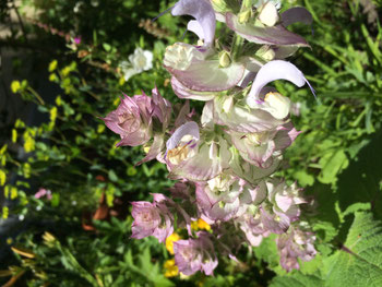 Die Blüten erinnern an Harlekine.