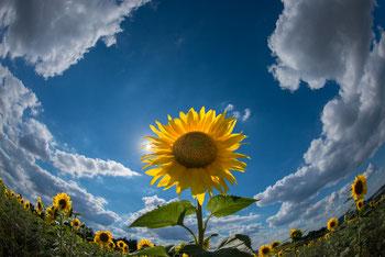 Flora: Sonnenblume_1