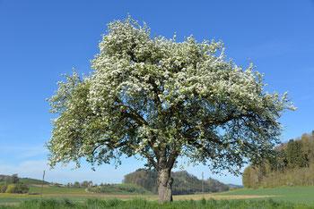 Alte Obsthochstämme www.funke-pflanzen.de Hochstamm Apfelbaum