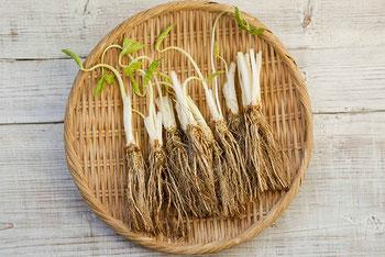 竹ザルに並べられた根つきの三つ葉たち