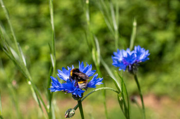 Kuckuckshummel an einer Kornblume (Foto: H. Budig)