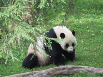 Panda Bär im Washington Zoo