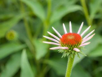 エキナセア。北米先住民の薬草としても知られるハーブ