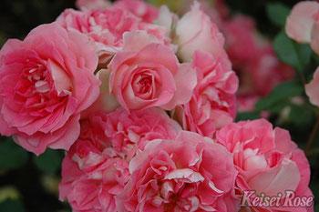 四季咲中輪系バラ「るる」