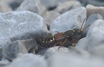 Dieser hübsche Käfer gehört zu den Kurzflügler, die hierzulande eher unbekannt sind