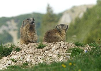 Murmeltiere im Karwendelgebirge