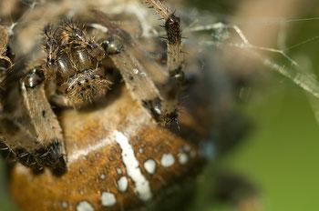 Gartenkreuzspinne (Araneus diadematus) [UKR20090925_0085]