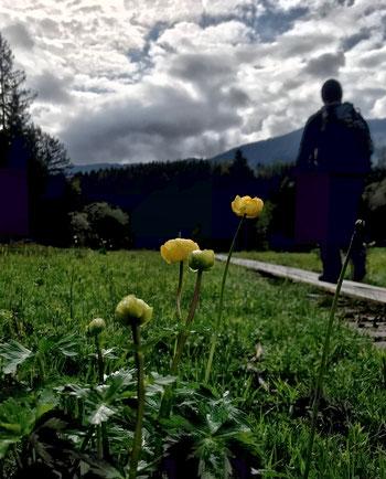 Trollblumen am Naturlehrpfad Samerberger Filze