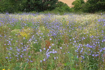Blühfläche im Juli mit vielen blühenden Wegwarten