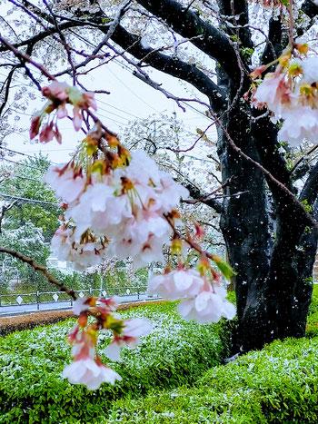 雪が積もっている中で咲いている桜