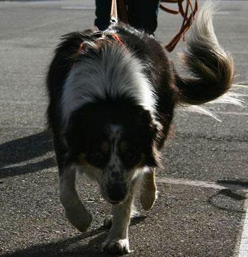 Hund Sidi am Mantrailen