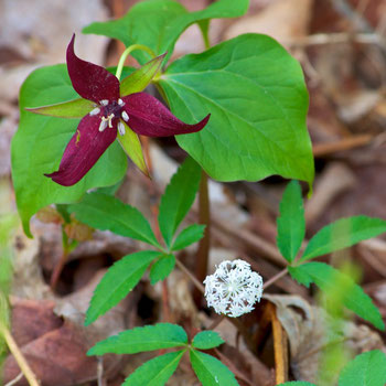 Red Trillium (Trillium erectum), and Dwarf Ginseng (Panax trifolium), sharing the forest floor at Distant Hill Gardens.