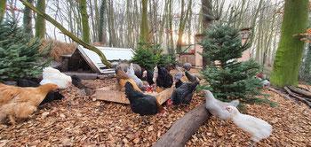 Hühner, Auslauf,Hühnerhaltung,naturgehege