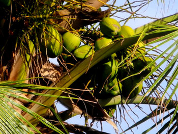 Coconuts on a coco palm