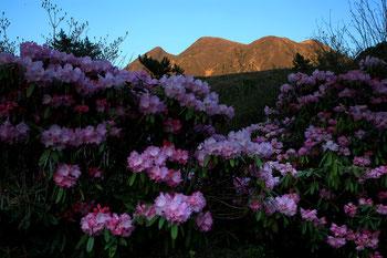 満開の石楠花と夕日を浴びる三俣山