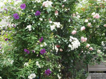 薔薇とクレマチスの植栽、いいですねぇ