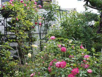 東北でもバラが咲き始めましたよ(2015.5.21)
