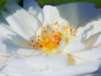 Weiße Blume mit gelbem Blütenstempel