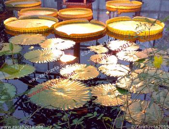 Beleuchtete Lotusblätter im Wasser